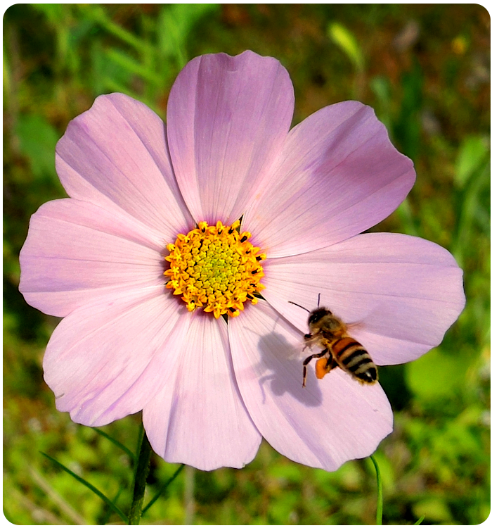 bee and wildflower - click on image to return