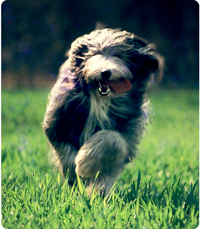 bearded collie - click on image to return