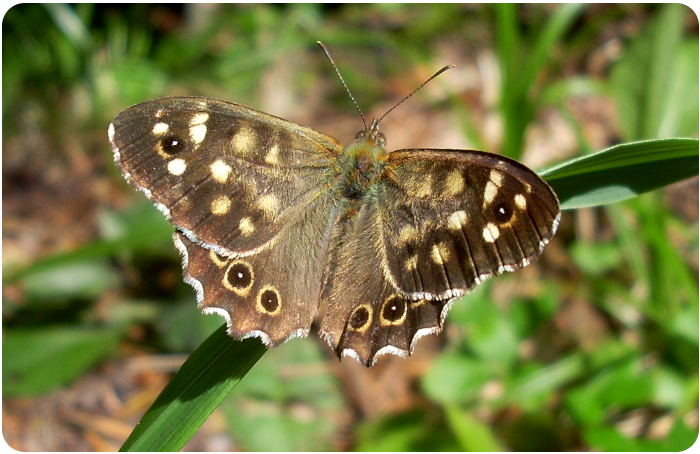 speckled wood butterfly - click on image to return