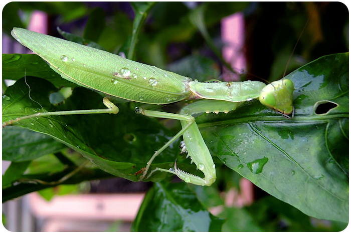 praying mantis - click on image to return